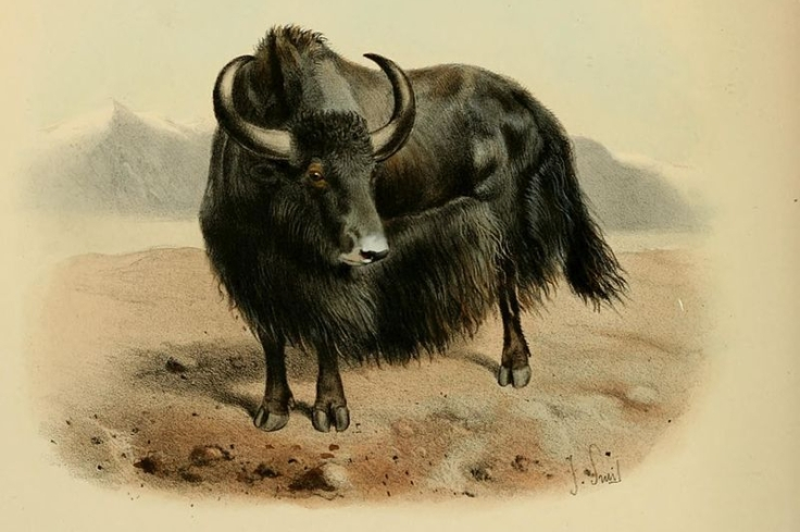 800px-wild_oxen2c_sheep_and_goats_of_all_lands2c_living_and_extinct_28plate_iv29_bhl9370000