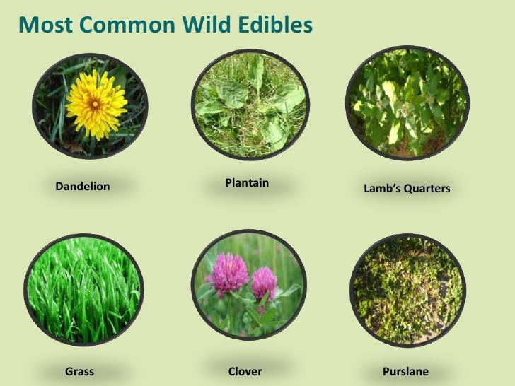 common-wild-edibles-6-728